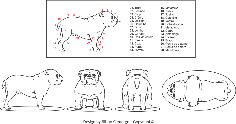 Padrão ilustrado da raça Bulldog